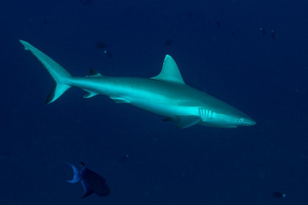 Subacquea alle Maldive, immersione