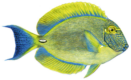 Acanthurus Dussumieri isole maldive