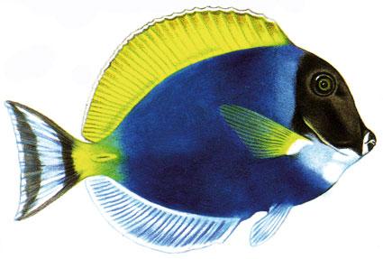 Acanthurus leucosternon  Pesce chirurgo blu  Acanturidi