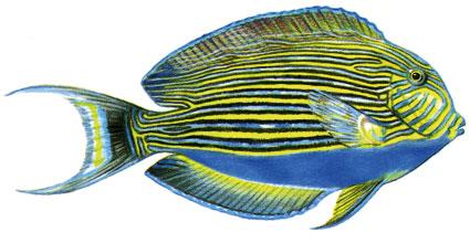 Acanthurus Lineatus isole maldive
