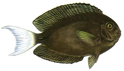 Acanthurus Thompsoni isole maldive