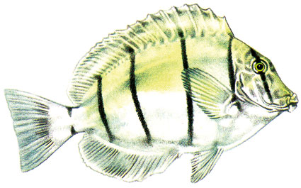 Acanthurus triostegus  Pesce chirurgo pentastriato  Acanturidi