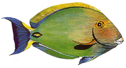 Acanthurus Xanthopterus isole maldive