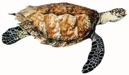 Eretmochelys Imbricata isole maldive