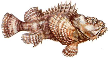 Scorpaenopsis Diabolus isole maldive