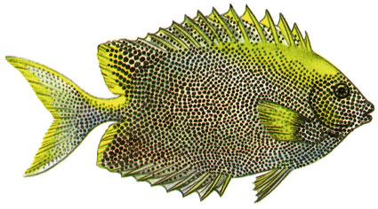 Siganus Stellatus isole maldive