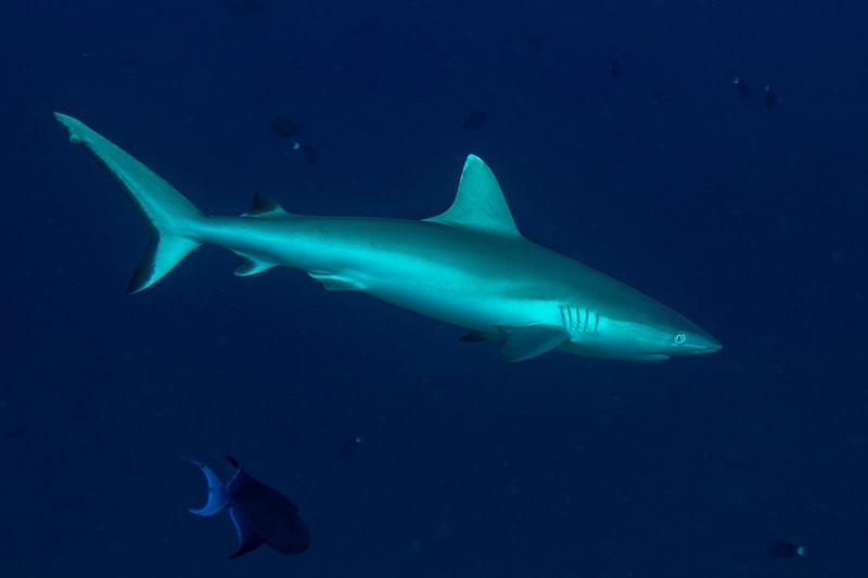 squalo, isole Maldive