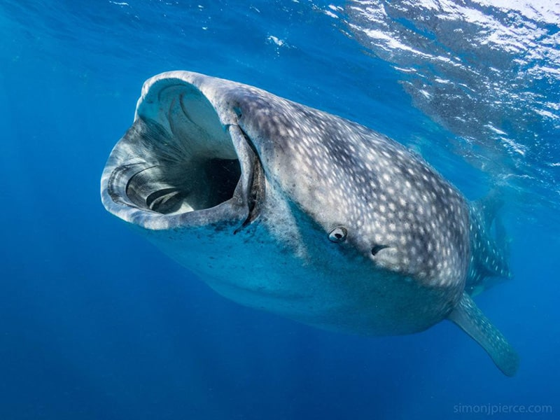 squalo balena, isole Maldive