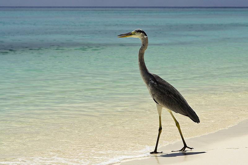 airone, isole Maldive