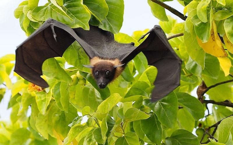volpi volanti, pipistrelli, isole Maldive