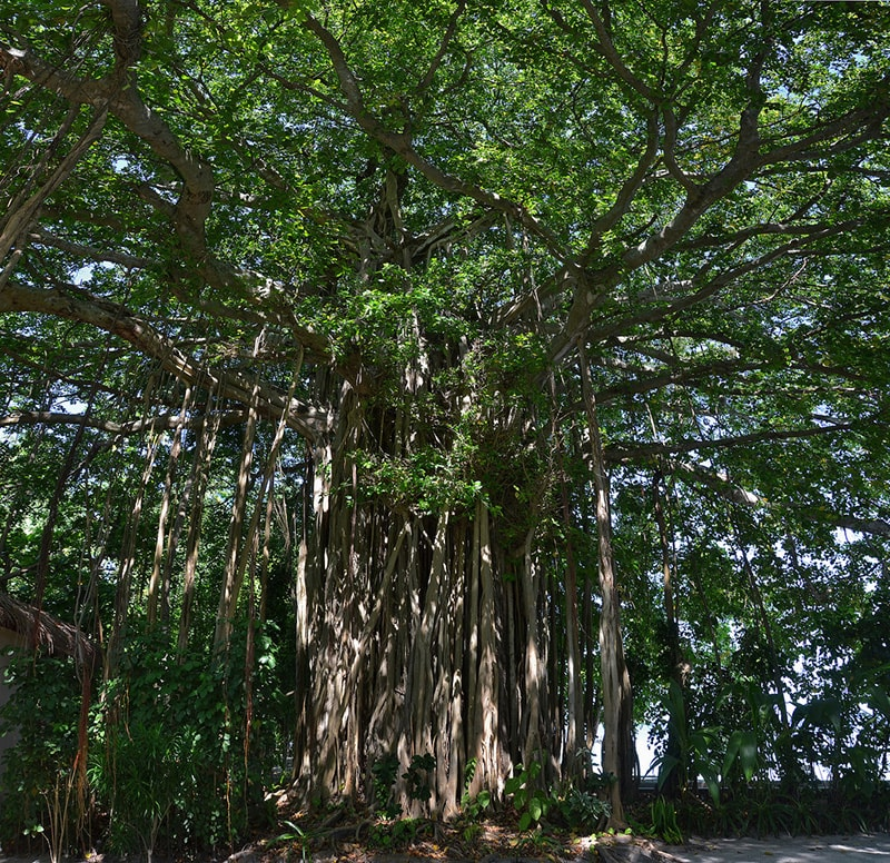 banyan, ficus benghalensis  , flora, isole Maldive