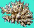 Barriera corallina e Invertebrati alle isole Maldive - Madrepore