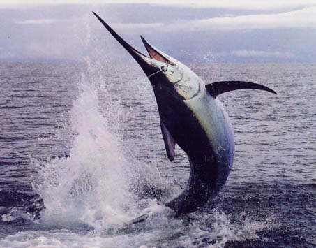 pesce vela marlin maldive