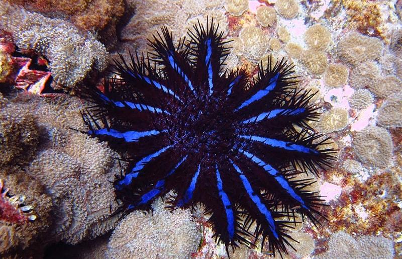 corona di spine stella marina maldive